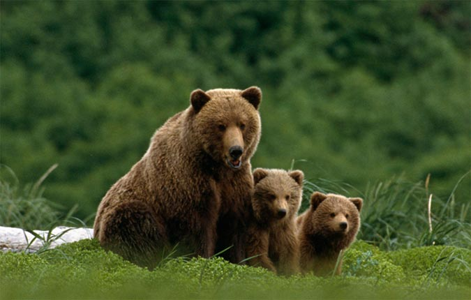 bear with cubs