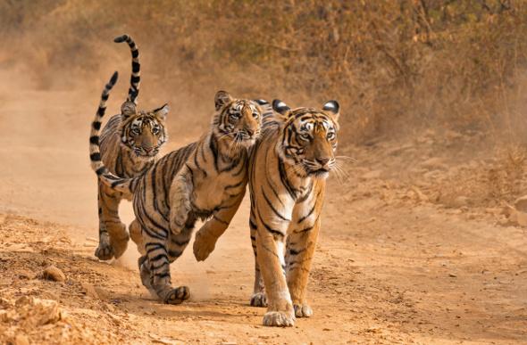 Tiger-Ranthambhore